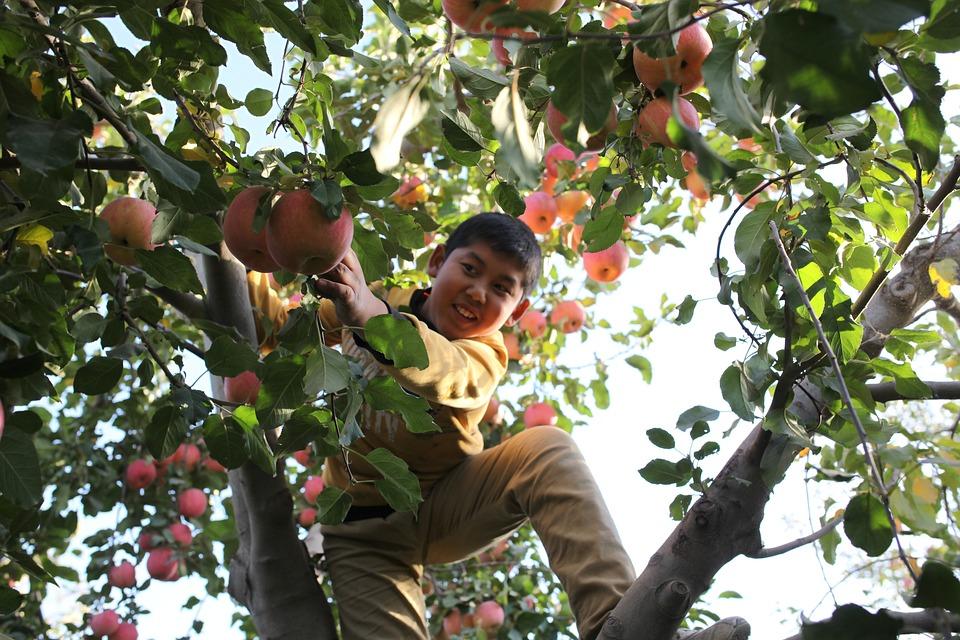 Dreng klatrer i æbletræ og plukker æbler